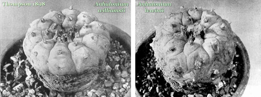 Thompson's view of Anhalonium Williamsii (L) & Lewinii (R)