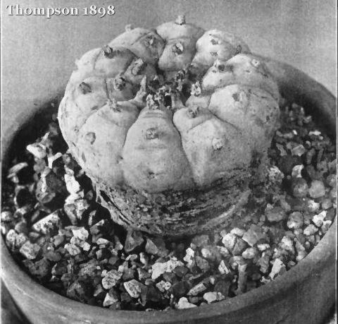 Anhalonium-williamsii-greyscale