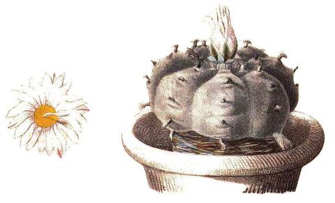 Echinocactus-Williamsii-Pfeiffer