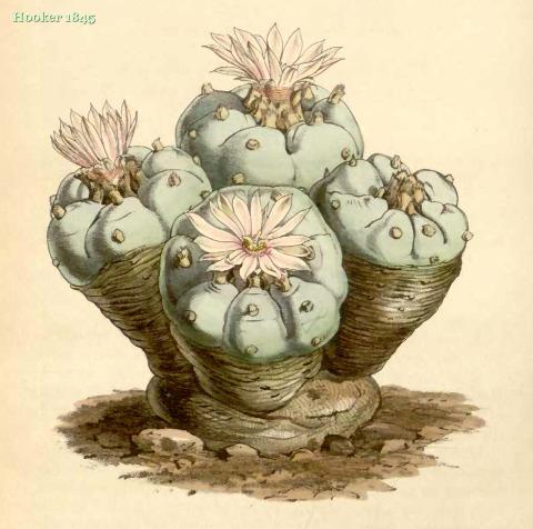 Hooker-1845-EchinocactusWilliamsii
