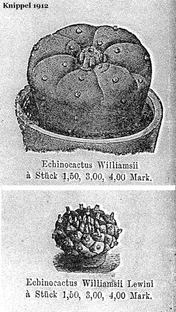 Knippel-1912-Echinocactus-2
