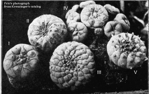 Lophophora from Kreuzinger