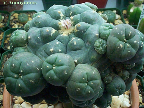 A caespitose Lophophora williamsii by Anonymous