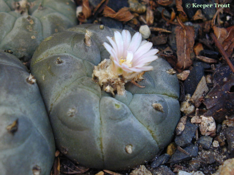 Lophophora-decipiens-L-williamii-notprojecting_flower-2