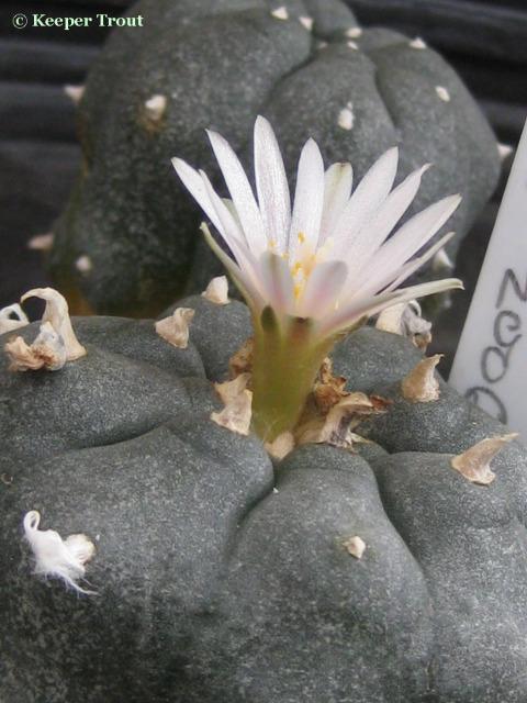 Lophophora-decipiens-L-williamii-projecting_flower-1