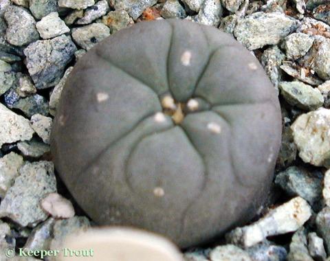 Lophophora-decipiens-seedling