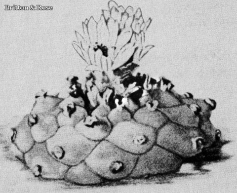 Lophophora-decipiens-type-drawing-Croizat_after_BrandR