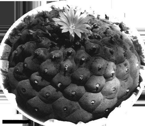 Lophophora-decipiens_insert_L_fricii_QualityCactus_Eric_3wide copy