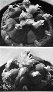Lophophora-echinata-Backeberg-1961-Abb2728