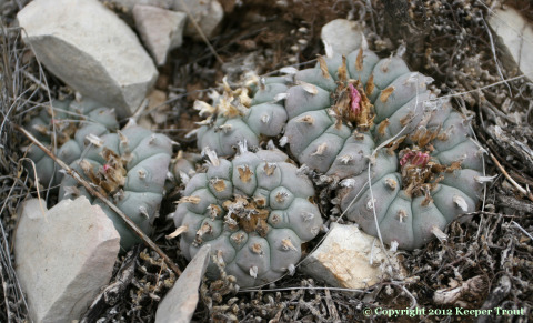 Lophophora williamsii echinata in Terrell County