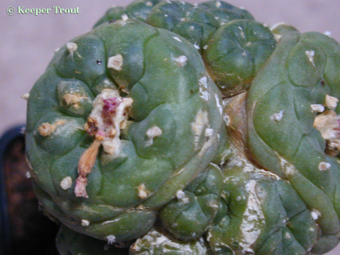 Lophophora-jourdaniana