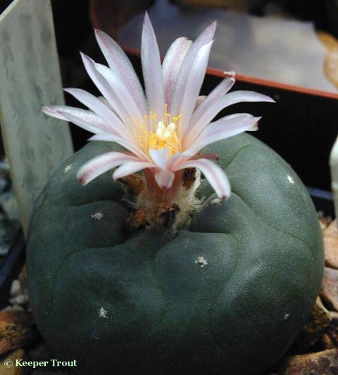 Lophophora koehresii flower