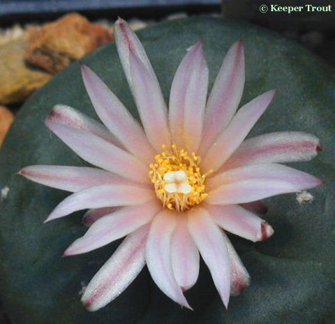 Lophophora-koehresii-flower-b