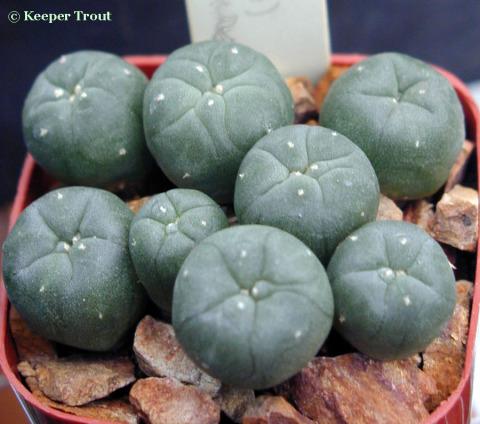 Lophophora-koehresii-seedlings-b