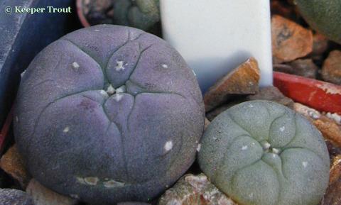 Lophophora koehresii seedlings