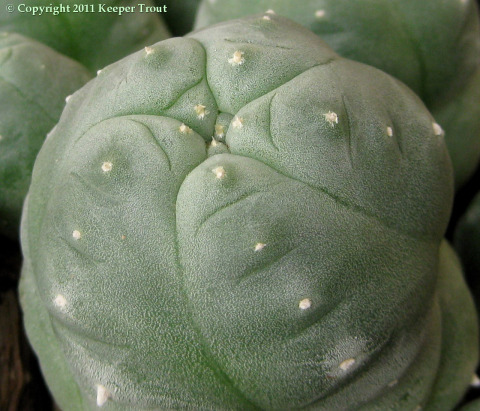Lophophora-tesselatus-0511-crop-enlargement