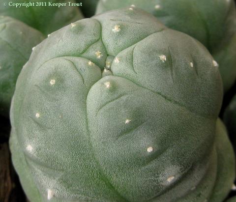 Lophophora-tesselatus-0511-crop-enlargement