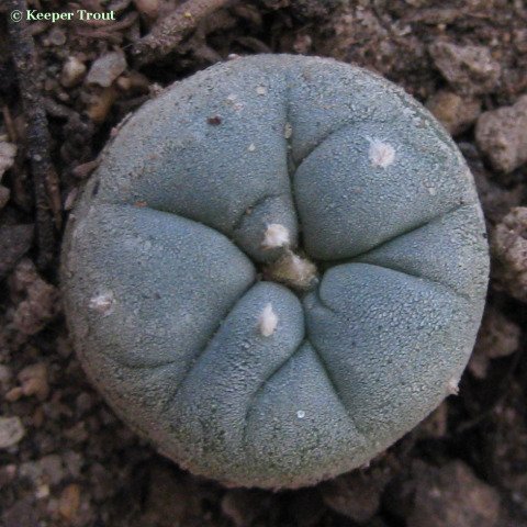Lophophora-viesca-Europeseed-RS404