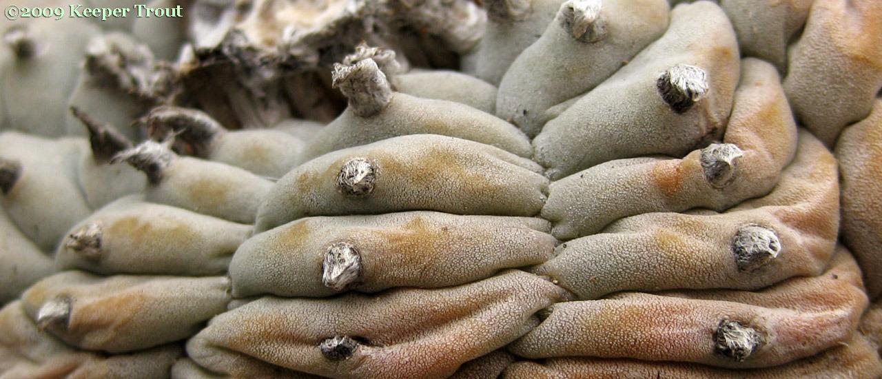 Lophophora echinata