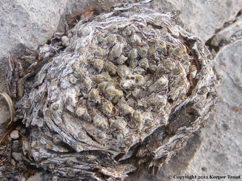 Lophophora-williamsii-echinata-PresidioCo-dead-9320