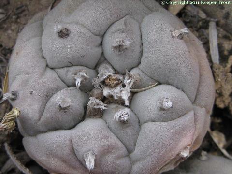 lewinii: Lophophora-williamsii-echinata