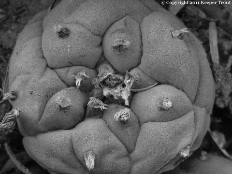 lewinii: Lophophora-williamsii-echinata-Terrell-2011-greyscale