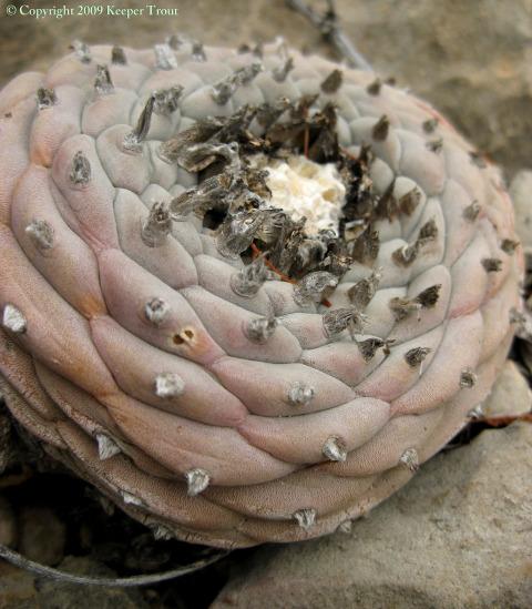 Lophophora-williamsii-echinata-decipiens-Presidio