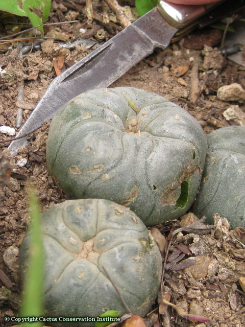 Lophophora-williamsii-threatened-by-knife