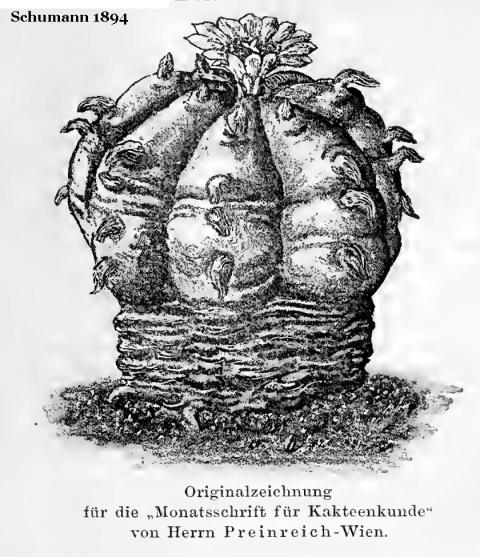 lewinii: Schumann 1894 Echinocactus Williamsii