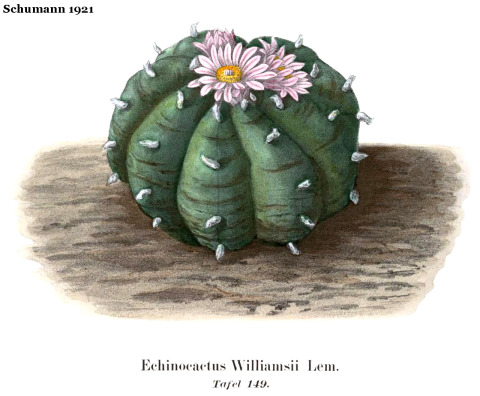 Schumann-1921-Echinocactus-williamsii