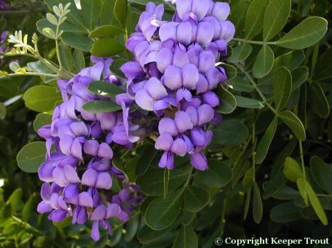 Sophora secundiflora flowers