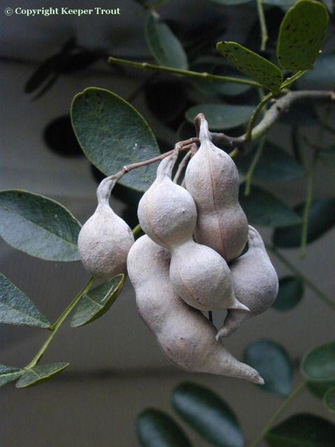 Sophora-fruit-1 3