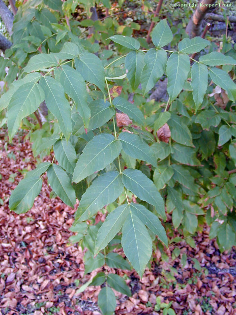 Ungnadia speciosa leaves