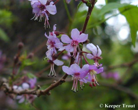Ungnadia speciosa flowers