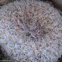 Epithelantha micromeris in Presidio County