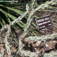 Cylindropuntia acanthocarpa thornberi