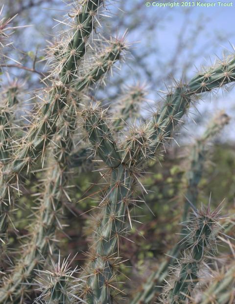 Cylindropuntia-acanthocarpa-thornberi-6588