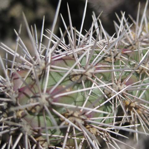 Cylindropuntia-spinosior-729