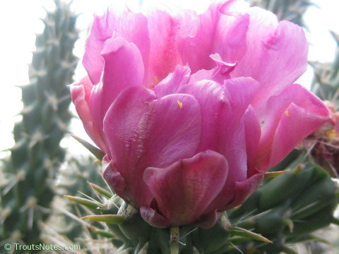 Cylindropuntia-spinosior-cactuscountry-6056