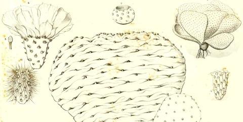 Modified from Engelmann & Bigelow 1856
