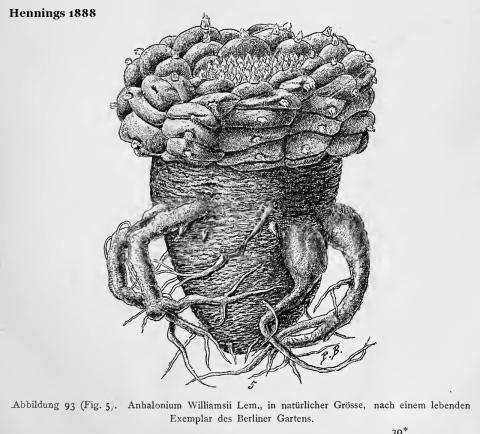 Hennings-1888-Anhalonium-Williamsii