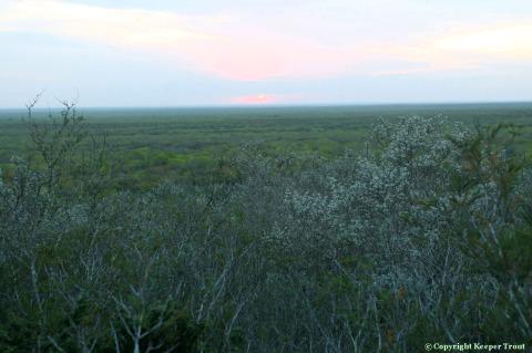L-williamsii-habitat-JimHoggCounty-largeview