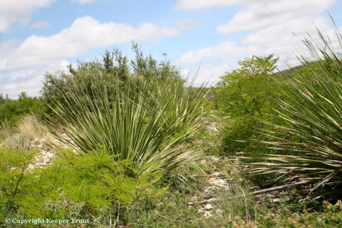 L-williamsii-habitat-ValVerdeCounty