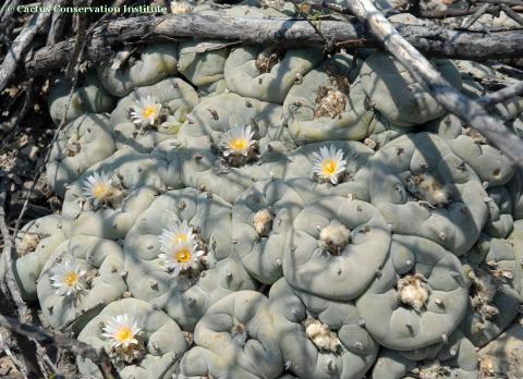 Lophophora-diffusa-flowering-CCI