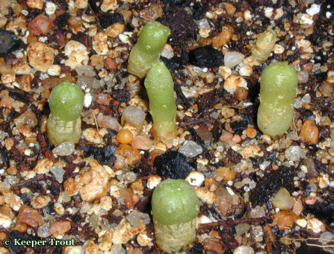 Lophophora-diffusa-seedlings