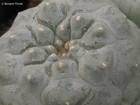 Lophophora-fricii-AKA-roseiflora