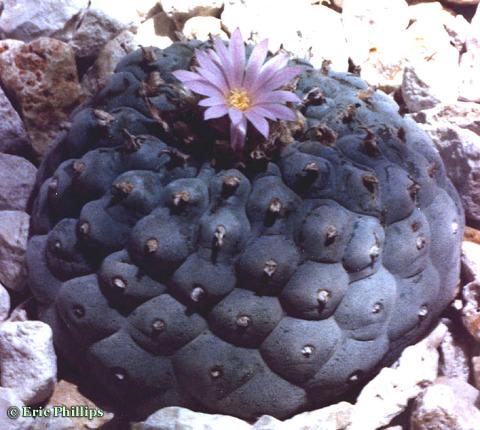 Lophophora-fricii-EricPhillips-b