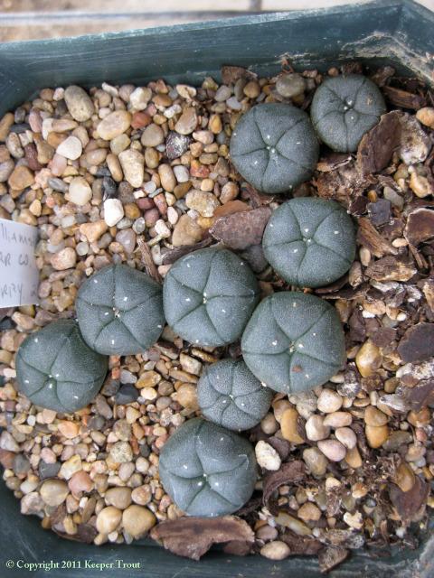 Lophophora-williamsii-JAV-Starr-6974