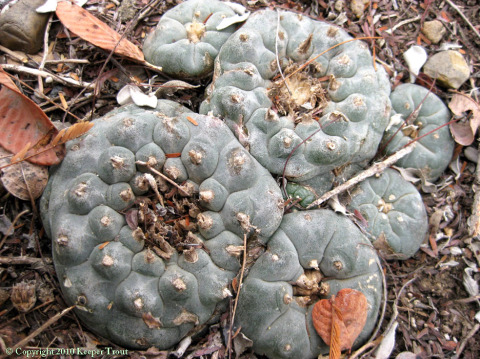 Lophophora-williamsii-JimHoggCounty