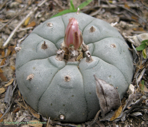 Lophophora williamsii in Jim Hogg County, Texas